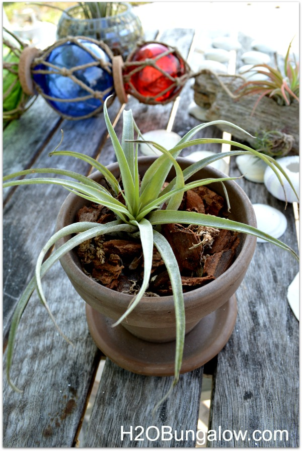 Some airplants look like traditioanl plants