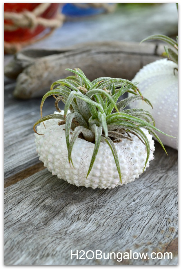Small airplant in a sea urchin shell