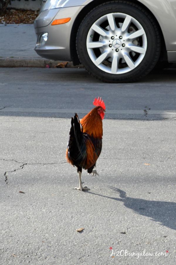 Gypsy chickens roam free H2OBungalow
