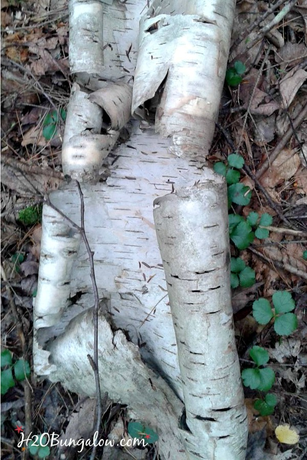 Birch bark in VT 2