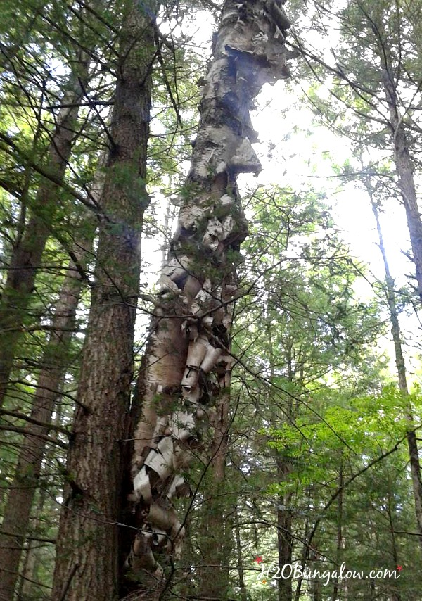 Birch tree in the woods with peeling bark
