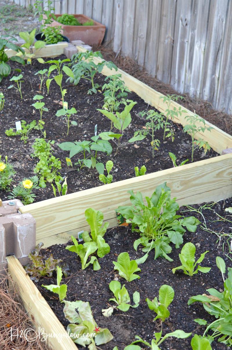 plants growing in the raised garden beds